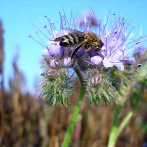 Phaceliablüte mit Honigbiene