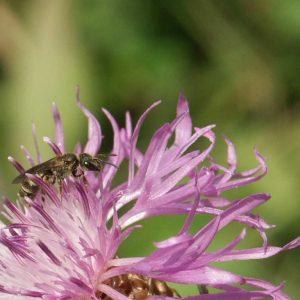 Nahaufnahme einer Flockenblumenblüte mit Furchenbiene