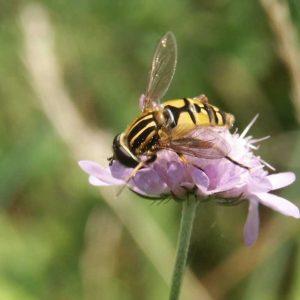 Nahaufnahme eine Witwenblumenblüte mit Sumpfschwebfliege