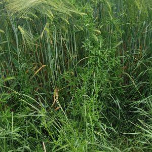 Feldrand mit Gräsern und Klettenlabkraut