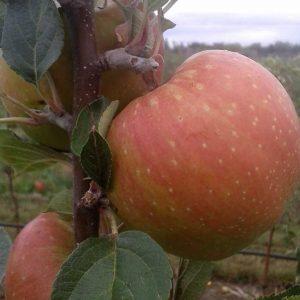 Apfelsorte Santana, eine Kreuzung aus den Sorten Elstar und Priscilla