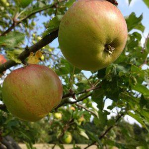 Apfelbaum auf Streuobstwiese